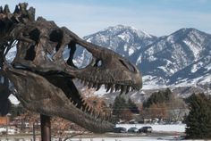 Have you ever been to the Museum of the Rockies in Bozeman, Montana? It's an amazing place! Go behind the scenes at MOR in this article!