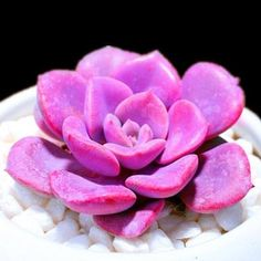 The Maui Succulent - 100 Seeds - Jala & Noor Internationally sourced Arabic and Islamic goods Colorful Succulents, Cacti And Succulents, Planting Succulents, Planting Flowers, Cactus Plants, Succulent Seeds, Succulent Gardening, Succulent Terrarium, Cacti Garden