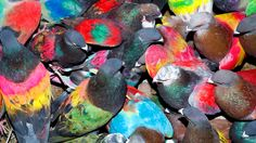 The Wild Colors and Quirky Characters of Pigeon Racing
