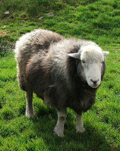 Herdwick Sheep by Jeheme, via Flickr