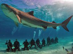 Turistas mergulham para alimentar tubarão-tigre na região do Caribe