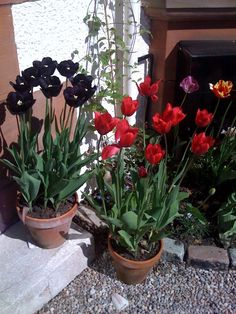25 May 2013 : Black and red tulips at door. Newly planted clematis montana doing fine. (iPhone)