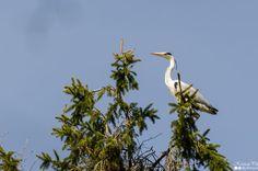 Hallhaigur - Grey Heron - Ardea Cinerea