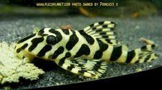 Cascudo Tigre de Ouro Pretty Fish, Cool Fish, Beautiful Fish, Aquarium Catfish, Cichlid Aquarium, Tropical Fish Aquarium, Freshwater Aquarium Fish, Fish Ocean, Oscar Fish