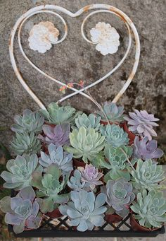 80 Eighty  Assorted ECHEVERIA Succulents in by TheSucculentSource