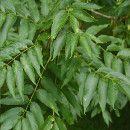 El Fresno cuida el hígado, la piel, alivia los dolores, depura la sangre y evita la hipertensión ecoagricultor.com