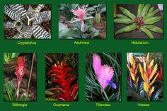 Bromeliads: A Splash of Color Green Plants, Air Plants, Indoor Plants, Mothers Day Plants, Landscape Design, Garden Design, Rainforest Plants, Ornamental Plants, Plant Care