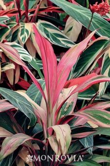 Stromanthe Beautiful Pink Green And Cream Leafy Tropical Plant I Want These