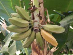 Bananenstaude - Spanien - Spain - España