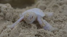 A group of Australians got a rare treat earlier this week, when a baby albino turtle emerged from a nest and successfully made its way down to the Coral Sea.