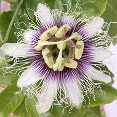 Pasionfruit flower