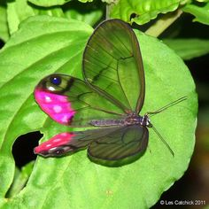 Butterfly (Cithaerias pyropina, Common name: Pink-tipped Satyr)