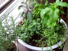 Even the tiniest kitchen deserves fresh herbs, and in this indoor garden, all the herbs happily co-exist in one big pot. Growing Plants Indoors, Herbs Indoors, Growing Herbs, Eco Garden, Indoor Garden, Indoor Plants, Indoor Herbs, Herbs Garden, Starting A Garden