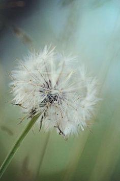 "Photo ""Dandelion"" by SimplyEnchanted"
