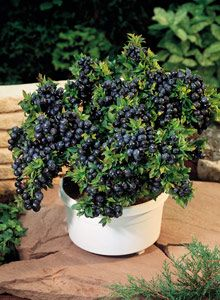 Blueberries on the patio | How to Plant and Grow Patio Fruit