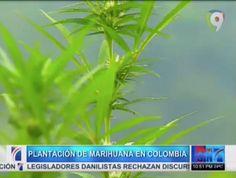 Enorme Plantación De Marihuana Opera En Colombia A La Vista De Todos #Video