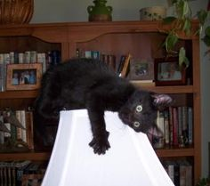 Cat seriously loves the lamp #Cute