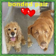 PLEASE HELP CHA CHA!!! HE'S LEFT BEHIND AND LOST HIS BUDDY AND BONDED FRIEND!!!❤️❤️❤️A4357189 My name is Rodney. I'm a 5 yr old male tan Cocker Spaniel. A4357184 My name is Cha Cha. I am a 13 yr old spayed female brown Labrador Retriever. Our family moved and left us here on March 7. We are VERY bonded and we're happy as long as we are together -- please don't break us up!! https://www.facebook.com/photo.php?fbid=935303503148154&set=pb.100000055391837.-2207520000.1425933987.&type=3&theater