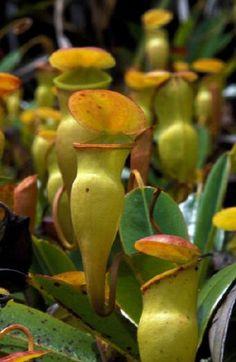 Nepenthes pervillei (Seychelles)