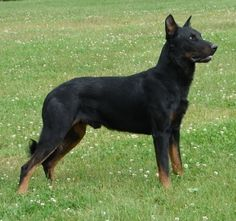Berger de Beauce (Beauceron) Black and Tan Variety France