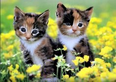 What a gorgeous pair of  Calico kittens!