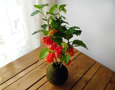 Kokedama Linterna China (Physalis alkekengi)