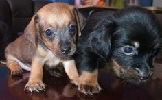 chiweenies | For Sale: Cute Chiweenie puppies