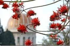 Coral Tree (Erythrina) in the Baha'i Gardens