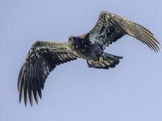 eagle in flight Eagle In Flight, Eagles, Bald Eagle, Distance, Lens, Wildlife, Boat, Animals, Image