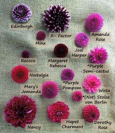 Dahlia – – – Famous Last Words Cut Flower Garden, Flower Farm, Cactus Flower, My Flower, Flower Pots, Cut Garden, Flower Colors, Balcony Garden, Rare Flowers
