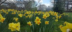 2018 Daffodil Gardens and Events - Pumpkin Beth - Mana vietne Daffodil Bulbs, Daffodils, Sussex Gardens, Stuff To Do, Things To Do, Longwood Gardens, Orange Flowers, Growing Plants, Days Out