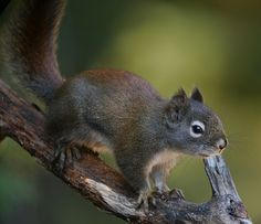 Red Squirrel, green background