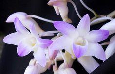 Dendrobium fairchildiae