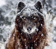 Dark Timber Wolf in the snow.
