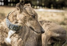 ~ Sienna ~ gorgeous Greyhound and I want this collar for Asher!