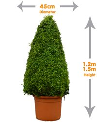 Buxus Large Cone - Sculptured into a stylish, cone shape