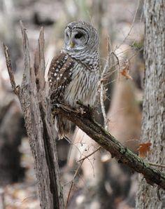 More Barred Owls. Audubon South Carolina: Master Naturalists Visit