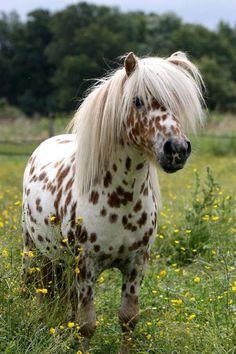 A mini appaloosa pony. Most Beautiful Horses, Pretty Horses, Horse Love, Animals Beautiful, Cute Baby Horses, Poney Miniature, Miniature Ponies, Horse And Human, Cute Ponies
