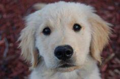 Patton the Golden Retriever - The Daily Puppy