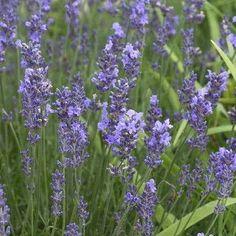Lavendel Lavendula angustifolia Munstead