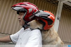 INDONESIA, Surabaya, Java: Indonesian dog lover Handoko Njotokusumo and Ace ride through traffic during their weekend joy ride on a motorcycle in Surabaya located in eastern Java island on March 2, 2013. Handoko, 57 a retired businessman, regularly takes Ace, a golden retriever, for a ride around the city. AFP PHOTO / JUNI KRISWANTO