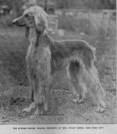 Afghan Hound Times - Begum (USA) rare photograph 1930's
