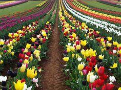 Tulip farm in the Dandenong Ranges, Vic, Australia
