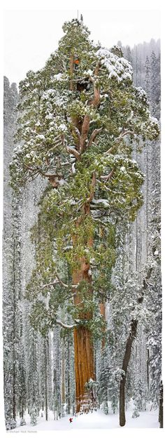 Some say it's a big tree.