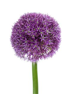hortensie magical esmee paars lila hochzeit violett. Black Bedroom Furniture Sets. Home Design Ideas