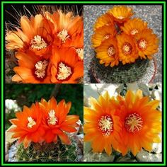 Buy Parodia microsperma Mixed Forms - 100 Bulk Seed Pack -Verified Seller, Exotic Succulent Cactus - NEW for R32.25