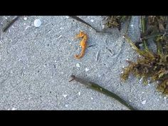 Finding a Sanibel Seahorse - YouTube