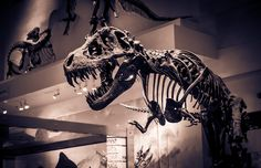 Image of a T-Rex taken at the Natural History Museum in Washington DC.