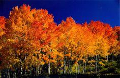 Adore Aspen Trees!