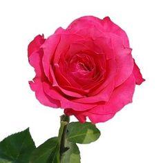 FiftyFlowers.com - Memphis Hot Pink Rose 75 @$150